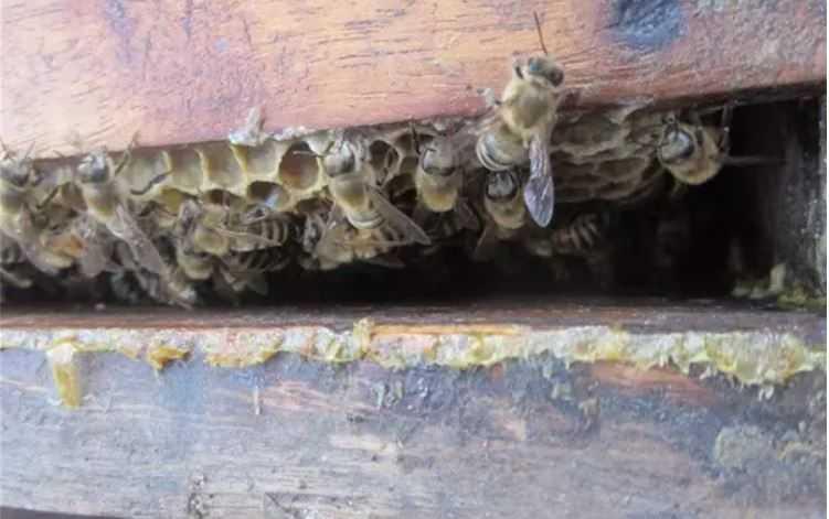 Bee Honey - Melipoly Organic and Pure Honey